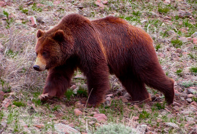 Grizzly Bear, Confluence Hill, Yellowstone