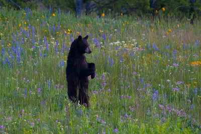 Dancing Black Bear Cub in Flowers