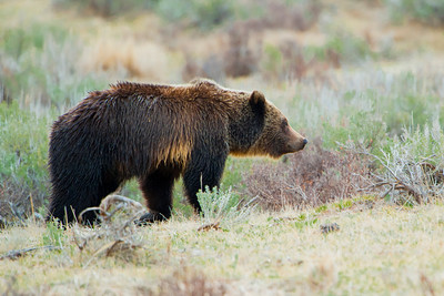 Grizzly Bear, Tower Junction, Yellowstone 2