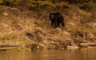 The Curious Black Bear, Yellowstone 6