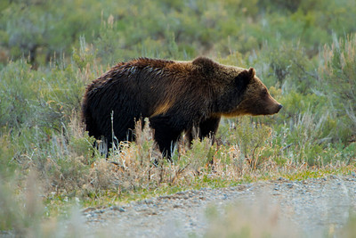 Grizzly Bear, Tower Junction, Yellowstone 3