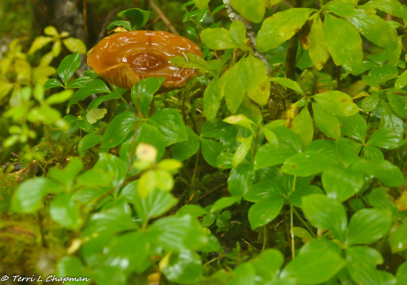 """This is a wild mushroom growing in the forest. It was raining so much that day and I loved how the rain had """"pooled"""" in the top of the mushroom."""