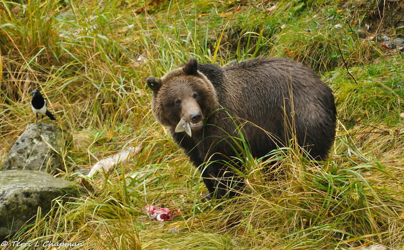 Grizzly bear cub finishing off a fish tail with a Magpie waiting to take any leftovers.