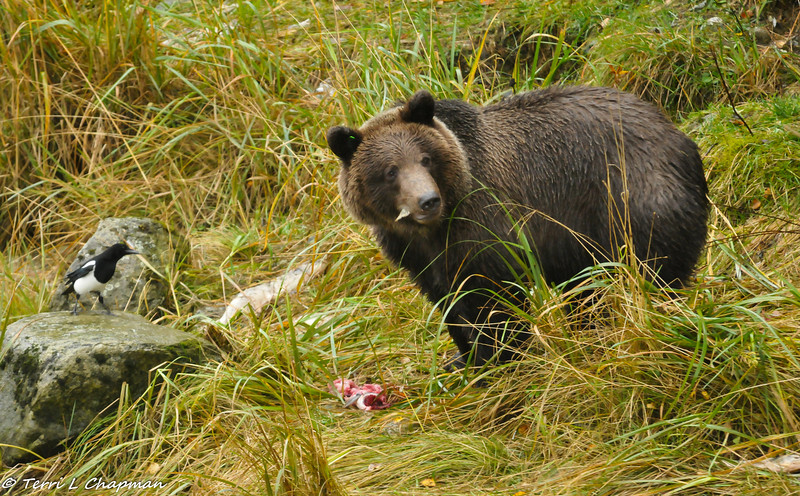Grizzly cub finishing off a fish