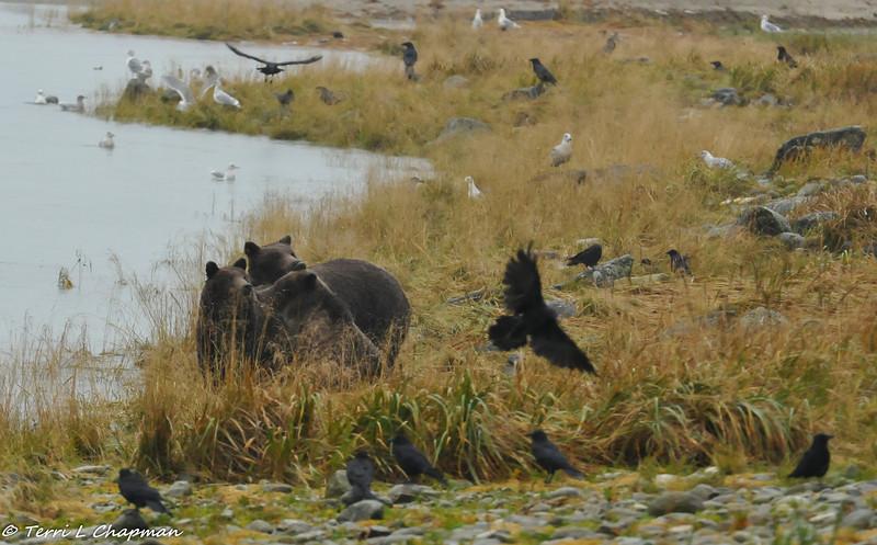 A Grizzly bear mother and her two cubs. After I took this picture, the mother went into the water and swam across the lake and the cubs followed. They even stopped in the water to play!
