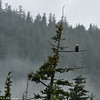 Bald Eagle perched in a tree. The weather was wet and cold.