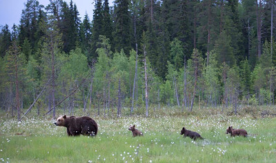 Mother with yearling cubs heading for the safety of the forest.