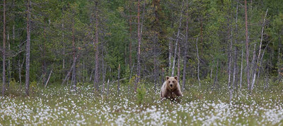 European Brown Bear coming out of the forest.