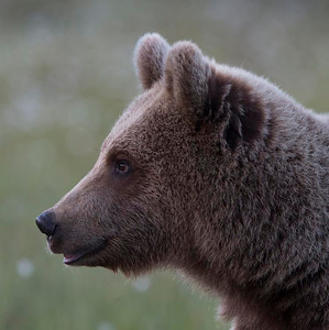 Young bear portrait.