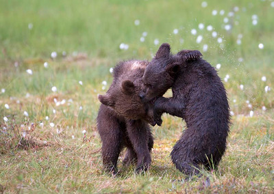 Cubs fighting in a swamp.