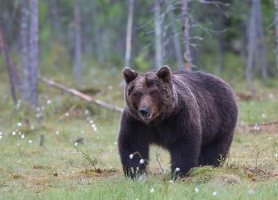 Big male European Brown Bear