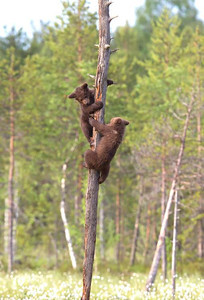 Cubs playing up a tree.
