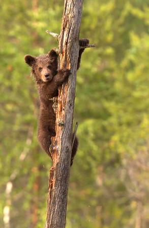 Cub climbing dead tree.