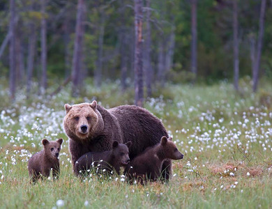 Mother with yearling cubs.