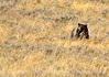 Grizzly Bear, Yellowstone NP (8)