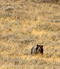 Grizzly Bear, Yellowstone NP (2)