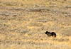 Grizzly Bear, Yellowstone NP (4)