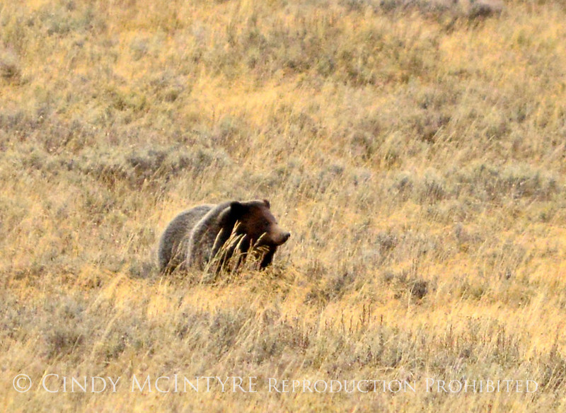 Grizzly Bear, Yellowstone NP (9)