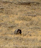 Grizzly Bear, Yellowstone NP (7)