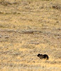 Grizzly Bear, Yellowstone NP (3)