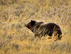 Grizzly Bear, Yellowstone NP (5)