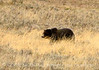 Grizzly Bear, Yellowstone NP (1)