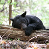 Tired Black Bear Sow resting on a log in Ontario, Canada.
