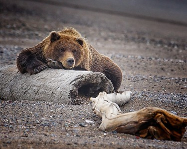 Alaskan brown bear (Ursus arctos) - Lake Clark National Park, Alaska