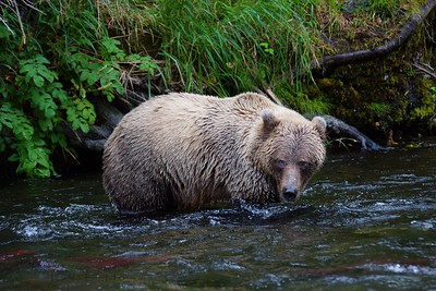 Alaskan brown bear (Ursus arctos) - Russian River, Kenai National Park, Alaska