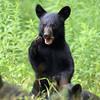 Wild Black Bear Cub in Ontario