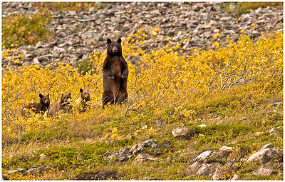 As she enters a clearing she spots a large male bear grazing and then leads her cubs to safety.