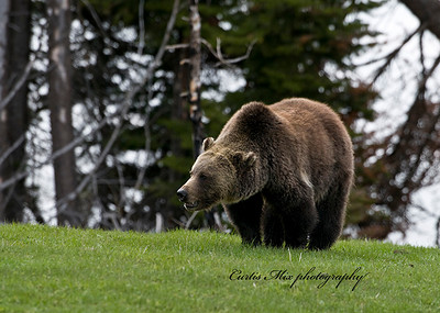 This grizzly bear was just out of hibernation. He was grazing on this grass till the bison he sees chased him away.