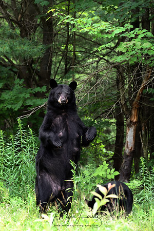 Black Bear Sow standing on her hind legs in Ontario, Canada