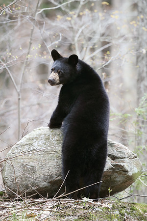 Black Bear Cub standing on a rock in Ontario, Canada.