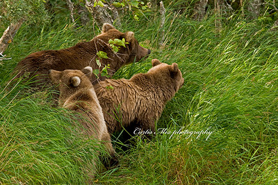 Exit strategy. A sow brown bear leads her cubs to safety as a large male approaches.