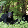 Wild Black Bear Sow and her two cubs in Ontario, Canada
