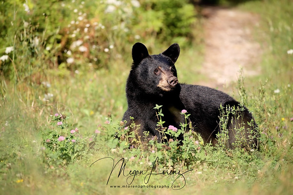 Female Black Bear Yearling in Ontario, Canada