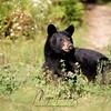 Female Black Bear Yearling in Ontario, Canada