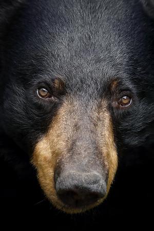 Closeup of a wild Female Black Bear in Ontario.