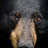 Closeup of a wild Female Black Bear in Ontario.