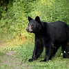 Black Bear Yearling in Ontario