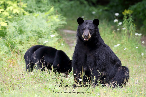 Black Bear Sow and her cub in Ontario, Canada.