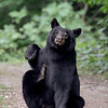 Black Bear scratching in Ontario, Canada.