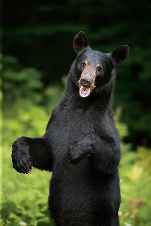 Wild Black Bear Sow standing on her back legs in Ontario, Canada.