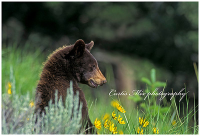 A black bear briefly looks up from his grazing.