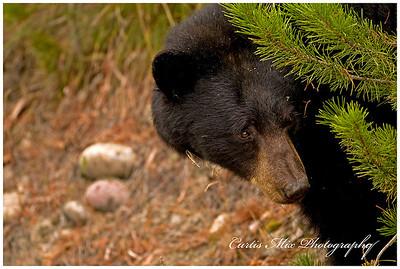 Mama black bear.