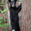 Wild Black Bear standing on hind legs in Ontario, Canada.