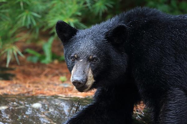 Black Bear Yearling in Ontario, Canada