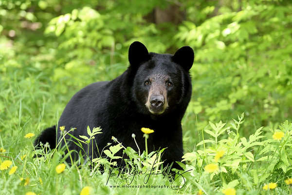 Three and a half year old Black Bear Sow laying in the grass in Ontario, Canada.  (Kate)