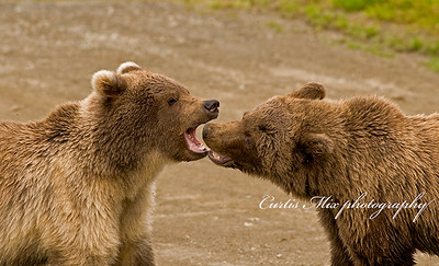 Growlers. Two young brown bears practice their fighting skills.